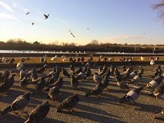 11/20/2014 D140 Good Morning (Sarah Jo 3) Tags: morning bird sunrise pigeon seagull merrimackriver 鳥 海鷗 日出 河 鴿子 早晨
