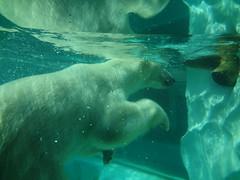Polar Bear - Ueno Zoo - Tokyo - Japan (Cesar I. Martins) Tags: bear water pool animals japan zoo agua ueno piscina polar animais japao verao 2014