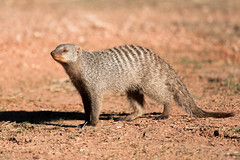 IMG_4961.jpg (The_Green_Ninja) Tags: africa game azn drive plateau wildlife safari namibia mongoose exodus banded waterberg