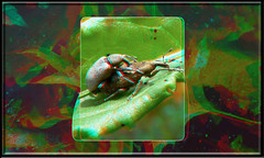 Evil Weevil Booty Call 1 - Anaglyph 3D (DarkOnus) Tags: macro sex closeup lumix stereogram call pennsylvania evil anaglyph booty mating stereography buckscounty weevil dmcfz35