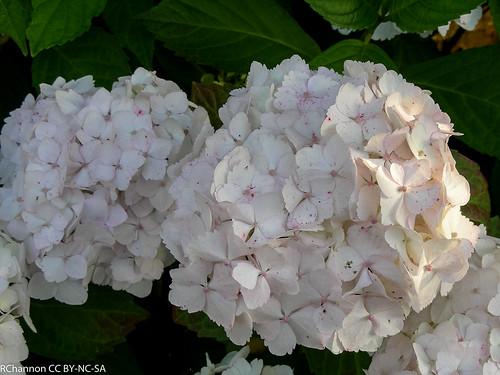 Aldermaston Village, hydrangea macrophylla mophead, jdy188 XX200707070584.jpg