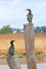 Double Crested Cormorants  View from Secaucus Greenway (Boardwalk, 4 of 4) at Mill Creek Point, Secaucus NJ & the Meadowlands (takegoro) Tags: bird nature meadowlands wetlands boardwalk cormorant marsh secaucus new jersey wildlilfe river double hackensack millcreekpoint crested secaucusgreenway