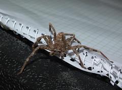 Sparassidae>Neosparassus calligaster Shield Huntsman spider DSCF5968 (Bill & Mark Bell) Tags: exmouth westernaustralia australia geo:town=exmouth geo:state=westernaustralia geo:country=australia geo:lon=11425453egeolat2217752sgeoalt8m 11425453e2217752salt8m taxonomy:kingdom=animalia animalia taxonomy:phylum=arthropoda arthropoda taxonomy:class=arachnida arachnida taxonomy:order=araneae araneae taxonomy:superfamily=sparassoidea sparassoidea taxonomy:family=sparassidae sparassidae taxonomy:genus=neosparassus neosparassus calligaster taxonomybinomialnameneosparassuscalligaster neosparassuscalligaster taxonomycommonnameshieldhuntsmanspider shieldhuntsmanspider spider