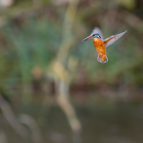 Female Kingfisher.