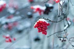 IMG_9284 (Fesapo) Tags: winter snow canada canon edmonton maternity alberta 7d 135mmf2l