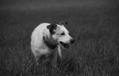 elmo (principia aesthetica) Tags: blackandwhite bw dog pet black love blancoynegro blanco animal landscape perro alvarez blackwhitephotos anawesomeshot