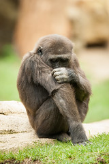 2014-09-19-15h30m03.272P4106 (A.J. Haverkamp) Tags: germany zoo gorilla hannover dierentuin mayumi westelijkelaaglandgorilla httpwwwzoohannoverde pobhannovergermany canonef500mmf4lisiiusmlens dob11042012