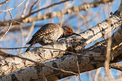 January 20, 2015 - A Northern Flicker woodpecker in Thornton. (Tony's Takes)