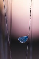 IMG_7261 (adrien.pcctt) Tags: papillon insecte argusbleu