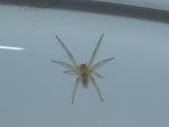 Eutichuridae>Cheiracanthium mordax Biting Garden Sac Spider DSCF5202 (Bill & Mark Bell) Tags: exmouth westernaustralia australia geo:town=exmouth geo:state=westernaustralia geo:country=australia geo:lon=11425453egeolat2217752sgeoalt8m 11425453e2217752salt8m taxonomy:kingdom=animalia animalia taxonomy:phylum=arthropoda arthropoda taxonomy:class=arachnida arachnida taxonomy:order=araneae araneae taxonomy:family=eutichuridae eutichuridae taxonomy:genus=cheiracanthium cheiracanthium mordax taxonomybinomialnamecheiracanthiummordax cheiracanthiummordax bitinggardensacspider taxonomycommonnamebitinggardensacspider spider