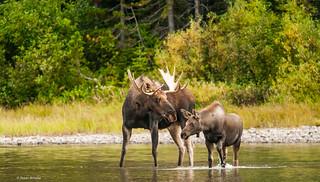 The bull moose greets his daughter