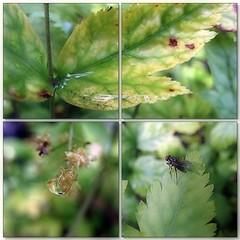 (Tlgyesi Kata) Tags: xanthorhizasimplicissima yellowroot srgagykr summer afterrain fvszkert botanikuskert botanicalgarden withcanonpowershota620 mosaic mozaik fly macro animal nyr
