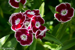 _DSC3187.jpg (Riccardo Q.) Tags: macro fiori altreparolechiave
