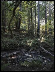 _8B06012-5 copy (mingthein) Tags: california trees usa nature creek forest landscape nikon san francisco bokeh d availablelight redwood ming purisima pce 2435 onn d810 thein photohorologer pce2435d mingtheincom mingtheingallery