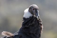 Gran cóndor de los Andes - Hembra (José M. Arboleda) Tags: ave cóndor andes vultur gryphus parque nacional natural puracé eos josémarboledac sp150600mmf563divcusda011 tamron markiii canon colombia 5d