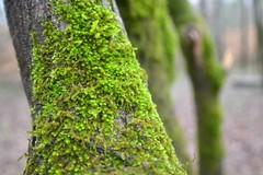 Mossy Oak (snickoel) Tags: trees green nature moss oak nikon mossy d3100