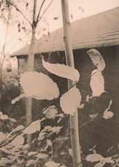 455 - Leaves North of Chicken House (Brad Renken) Tags: blackandwhite fall film leaves nebraska pentax k1000 ne d76 neb lith 13 bertrand smc phelps nebr arista kodabrome legacypro