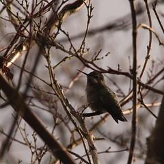 Humming Bird in the Winter sunshine, in BC (Beeke...) Tags: winter canada sunshine birds vancouver hummingbird bc whiterock climatechange kolibri