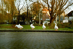 Geese (sea.lungs) Tags: city nature amsterdam animals geese europe superia 200 zenit 58mm fujicolor xp12