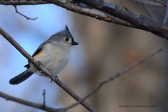 Mésange bicolore - Tufted Titmouse (Monique Coulombe) Tags: winter canada nature wildlife nationalgeographic tuftedtitmouse winterbirds wildbirds baeolophusbicolor paridae photonature oiseauxduquébec naturesauvage oiseauxsauvages oiseauxdhiver mésangebicolore birdinginthewild photographequébécois birdsofquebec moniquecoulombe