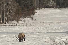 elks (Adrian stoness) Tags: canada nature rockies alberta banff mountans