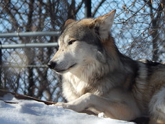 zoo day 2015 103 (RugsTopography) Tags: wild animals zoo geese tiger ducks turky deer rochester lioness lynx wolves
