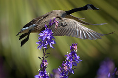 The Fly By (swong95765) Tags: flowers bird beauty fly wings bokeh goose unexpected canadagoose