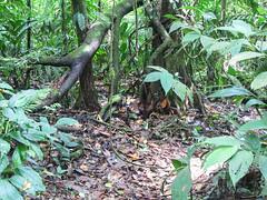 """Parc National Arenal: qui a vu le pizote (comme à Tikal au Guatemala) ? <a style=""""margin-left:10px; font-size:0.8em;"""" href=""""http://www.flickr.com/photos/127723101@N04/26296578763/"""" target=""""_blank"""">@flickr</a>"""