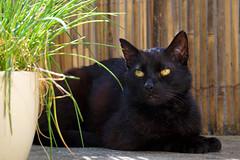 Pino (wani_no_ko) Tags: cats animals cat eyes katze gatto kater