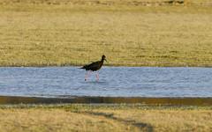 chasse noire - Himantopus novaezelandiae - Black Stilt - 01 (thierry.nogaro) Tags: canterbury tekapo nouvellezlande