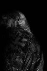 guila (Geranoaetus melanoleucus) - Black-chested Buzzard-Eagle (Claudio Gonzlez R.) Tags: chile portrait bird closeup nikon eagle retrato wildlife fineart bn ave tc 500mm sombras percha aguila rm plumas rapia rapaz depredador d610 wildlifephotography birdwaching fotofauna