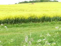 Field of Yellow 1 (Quite Adept) Tags: red brick yellow spring may redbrick rapeseed 2016