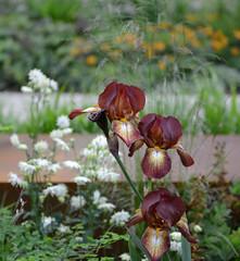 Chelsea Flower Show 2016 (Simon Caunt) Tags: show iris flower london bronze chelsea gardening bbc horticulture rhs beardediris d800 2016 royalhospitalchelsea summershere nikond800 rhschelsea summersnearlyhere