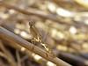 Yersiniops (carlos mancilla) Tags: insectos mantis ninfas nymphs mantids yersiniops olympussp570uz