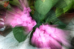 Unas de Rosa con Efecto (Jos Ramn de Lothlrien) Tags: flores lens hojas flora natural flor lente belleza zooming efecto