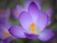 spring sensation (koaxial) Tags: flower macro nature closeup spring crocus blume krokus frhling koaxial p2071989ajpg