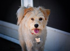 Yorkshire Terrier Mix, tongue out. (sonstroem) Tags: dog pet pets cute dogs yorkie tongue puppy happy yorkshire terrier yorkiepoo yorkipoo