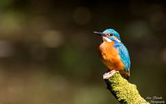 Eisvogel Mnnchen(Alcedo atthis)-Kingfisher,Male-Wildlife,Northern Germany-Bremen (Cristoforo Colombo) Tags: wmme blockland eisvogel