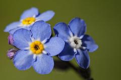 Myosotis (GregPeters29) Tags: macro fleur is 100mm usm f28l ef100mm