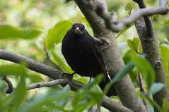 Merel-Blackbird-Turdus merula (Den Batter) Tags: nikon turdusmerula blackbird merel oss d7200