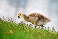 The Gosling (Jacqueline C. Verdun) Tags: baby bird water grass geese nikon bokeh michigan goose gosling kensington highiso verdun metropark 2016 jcv iso2000 d810 tamron150600 verduncom