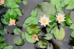 ([M!chael]) Tags: flower film pentax takumar kodak taiwan f m42 spotmatic manual smc chiayi spf 5014 ultramax400