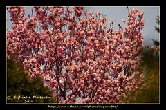 Pommetier Du Voisinage... Neighbourhood Crabapple Tree (Supersyl08) Tags: flowers tree fleurs spring may mai arbre printemps crabapple 2016 crabappletree pommetier supersyl
