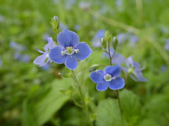 Veronica, Botanical garden Utrecht (Alta alatis patent) Tags: flowers blue veronica botanicalgarden ereprijs birdeyespeedwell botanicalgardenutrecht