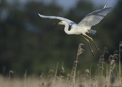 Great white egret : Ardea alba (Jerry Hawker) Tags: white bird flying great somerset perched egret greatwhiteegret ardeaalba somersetlevels hamwall rspbhamwall jerryhawker
