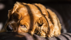 Rubin (Darren Frodsham) Tags: light portrait dog pet canon shadows dof natural naturallight depthoffield portraiture snooze cavalier ruby cavalierkingcharlesspaniel windowlight rubin cavie 5dmarkiii darrenfrodsham tamron70200mmf28spdivcusd