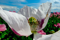 Weie Mohnblte (Werraman) Tags: poppies meisner mohnblume mohnblte germerode