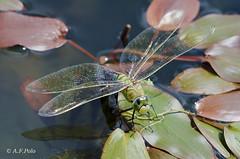 Anax imperator (puesta) (alvarof.polo) Tags: anaximperator liblulas anispteros dragonflies puesta ovopositing ovoposicin odonatos aeshnidae