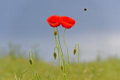 L'un contre l'autre (Croc'odile67) Tags: flowers red fleurs rouge nikon contemporary sigma poppies coquelicots d3200 pavots 18200dcoshsmc