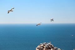 In flight ((( n a t y ))) Tags: blue sky bird rock azul canon germany island flying blauw vlucht flight pajaros cielo alemania alcatraz isla hemel gannets steen eiland piedra volando helgoland vliegend eos6d volgen heligolan
